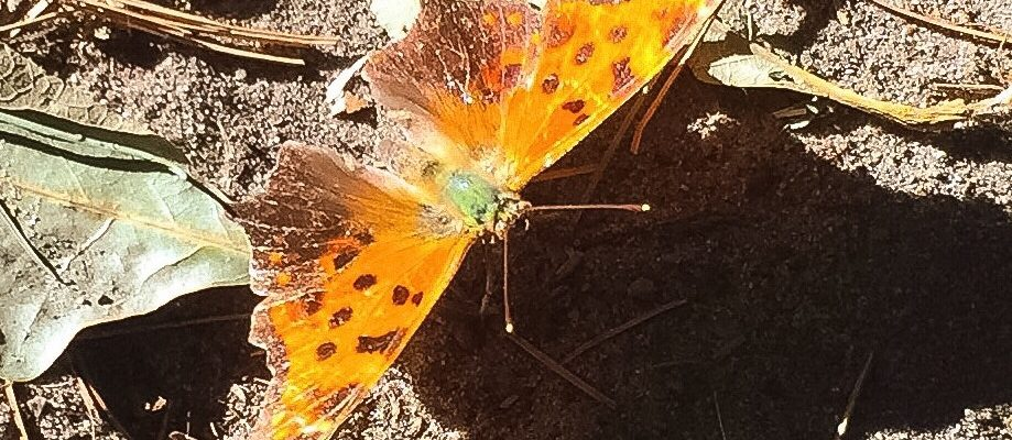 The Eastern Comma Butterfly