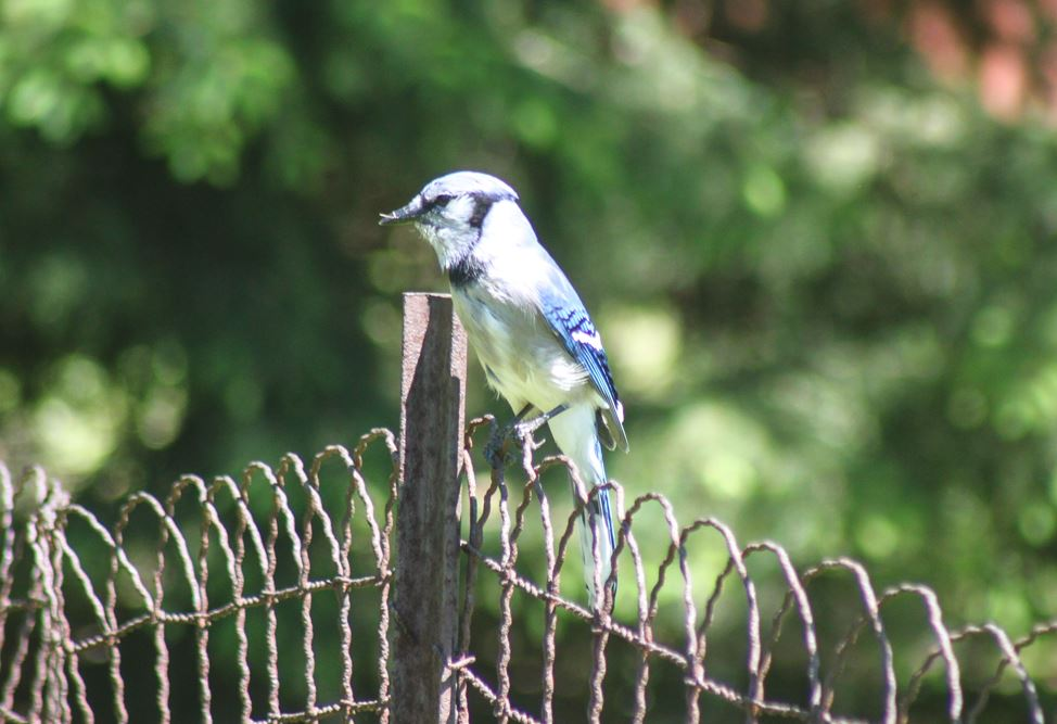 Blue jay in our backyard
