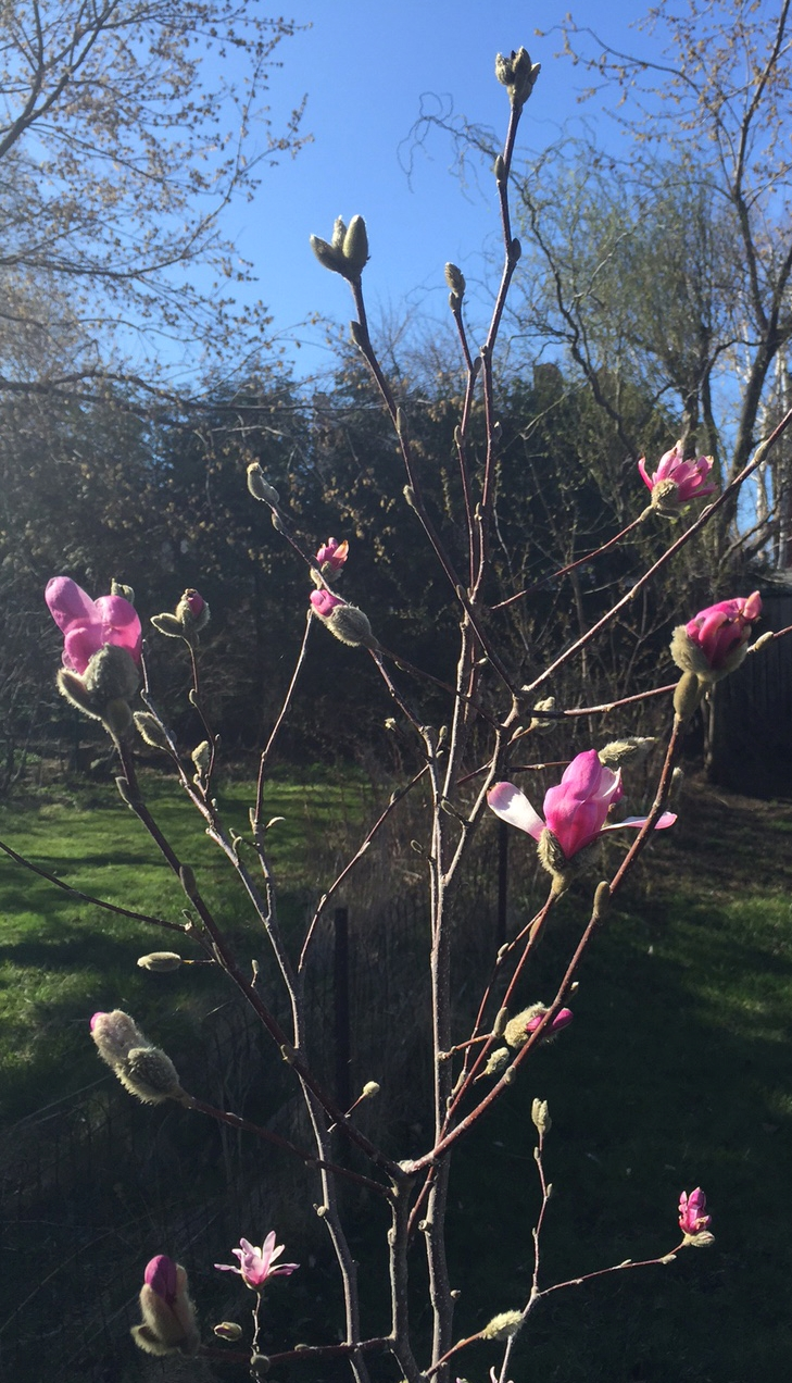 Magnolie im Garten