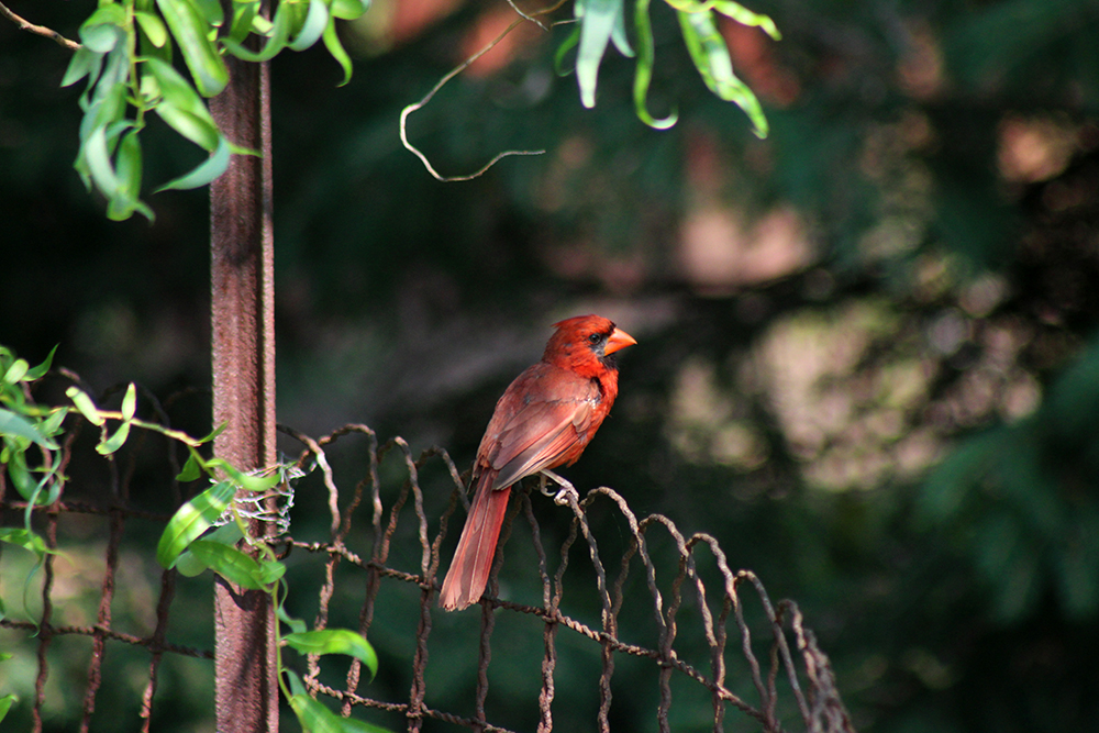 Cardinal in the backyard